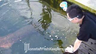 Feeding Arapaima Gigas : Max Koi Farm : MonsterFishKeepers.com : HD Quality : Part 2/2