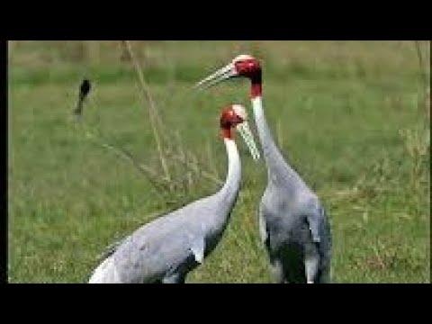To a pair of sarus cranes poem by Manmohan Singh Summary ENGLISH SSLC 10th standard