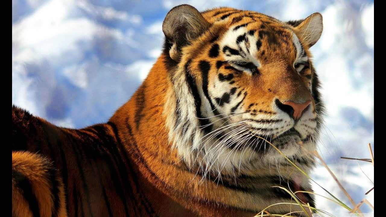 save the tiger - relax music - musica indiana rilassante