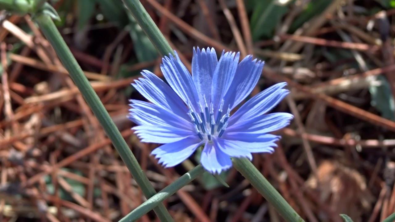 Flor de Achicoria: Cychorium intybus (www.riomoros.com)