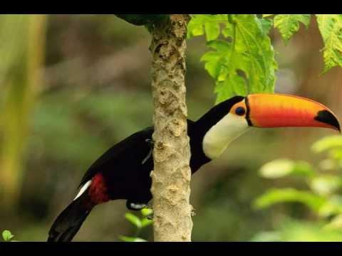 Sounds of Nature: Amazon Rainforest