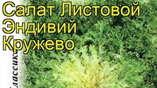 Салат листовой Эндивий Кружево. Краткий обзор, описание характеристик lactuca sativa