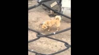 Собака похожая на Хатико
