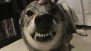My sweet wolfdog Katey. These are her wolf genes showing