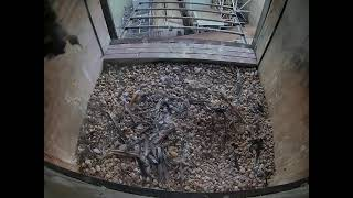 Preview of stream Live Peregrin Falcon Nest at E.W. Brown