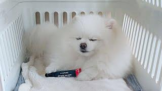 주인 립스틱을 훔치다 딱!걸린 강아지의 최후!!