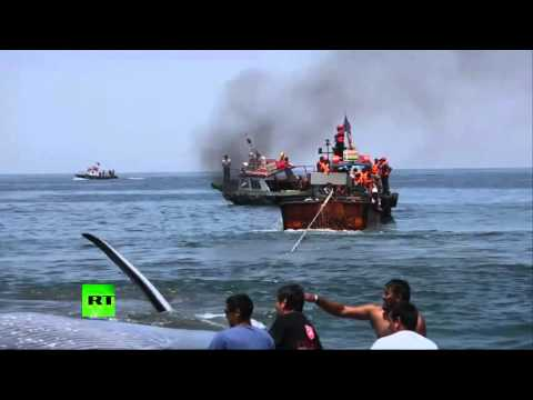 RAW: Huge stranded whale rescued from Chilean beach