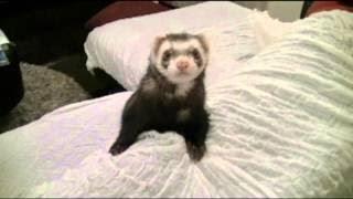 近年大人気の小動物ペットのフェレット。今回はご機嫌のぽんちゃんがで...