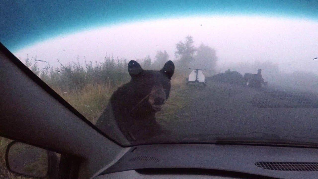Hungry Bear on Hood of Car