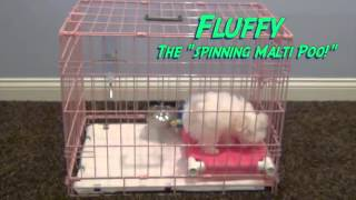 How do you potty train a Maltese puppy, potty training a Maltese, pee pad training a maltese