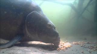 Karpfen im Fressrausch (Unterwasseraufnahme)