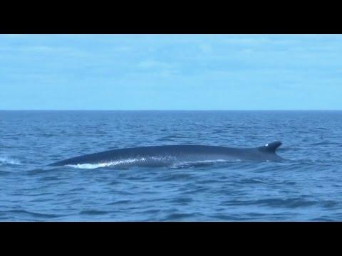 Balene Del Quebec