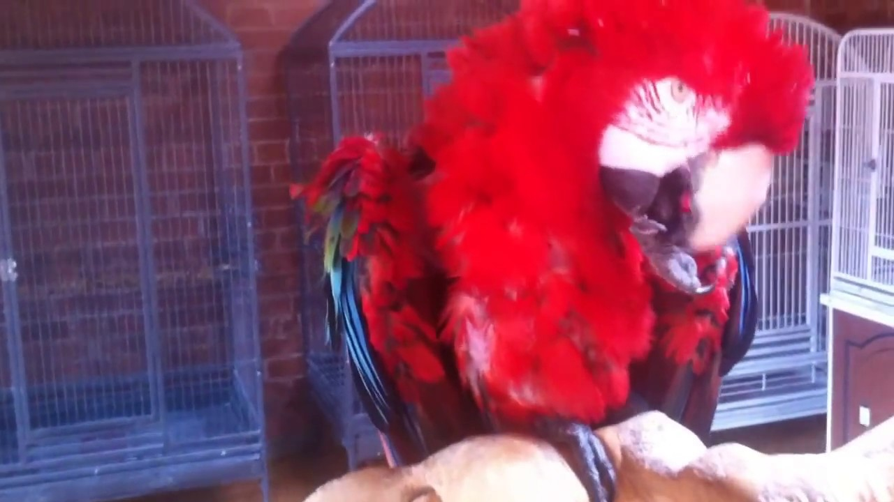 80 Years old Green Wing Macaw Parrot, in England