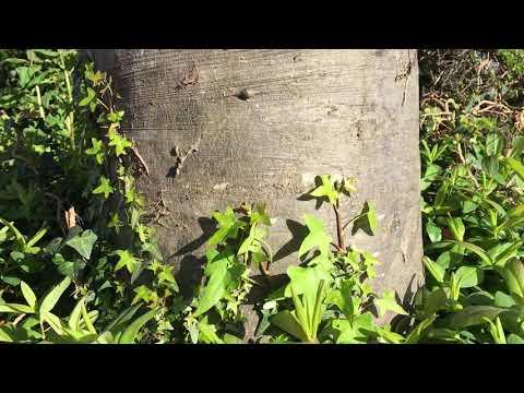 Copper Beech (Fagus sylvatica f. purpurea) - base of trunk - May 2018