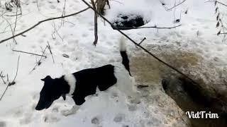 Охота на енотов видео в 2018 году зимой