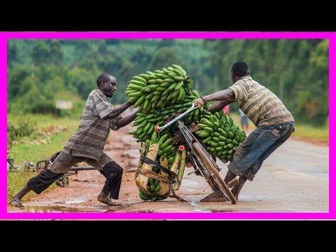 Uganda removes key hurdle to gm crops