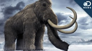 Woolly Mammoth Brain Found: Time To Clone?
