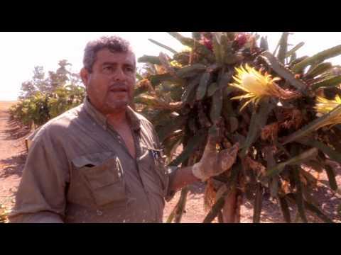 How to Hand-Pollinate Pitahaya
