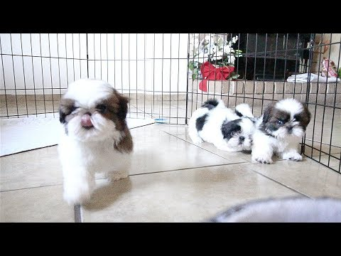 3 Adorable Shih Tzu Puppies | So playful