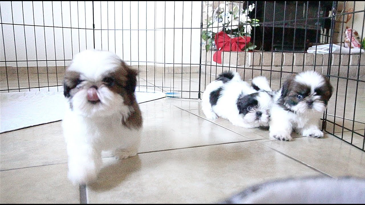 3 Adorable Shih Tzu Puppies So Playful Youtube