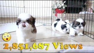 shih tzu dog show