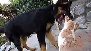 Кошку собака кусает. Усы лапы хвост(Кошки и собаки должны быть здоровы и в прекрасном самочувствии - читайте здесь: http://a-domanov.com/bio/veterinary-treatment-dogs-..., 2013-07-23T04:27:42.000Z)