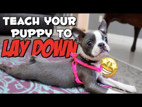 how-to-teach-a-puppy-to-lie-down