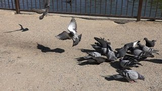 Slow Motion Pigeons Landing (Like Sliding Into Home) At The Park. Slow Motion Video 2