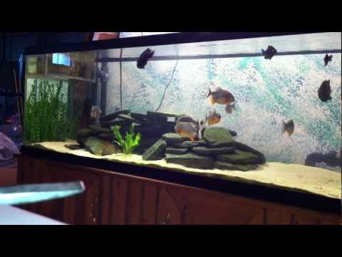 Piranha Eating Tilapia For The First Time