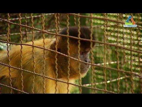 (JC 16/03/17) Bióloga do Zoológico Municipal explica relação do macaco com a febre amarela