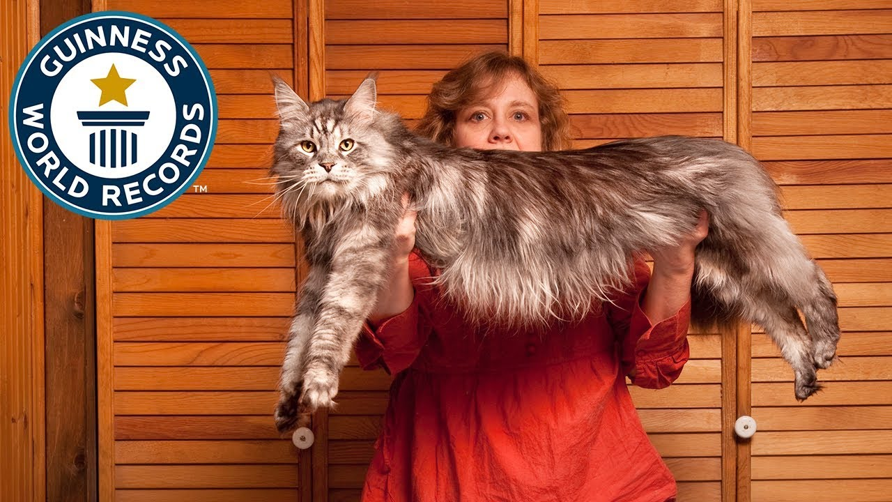 the worlds longest domestic cat meet the record breakers youtube - Biggest Cat In The World Guinness 2016