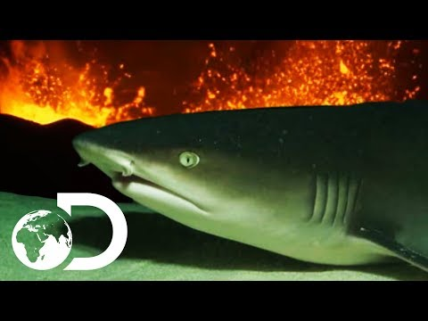 Devil Sharks | Sharks Are Attracted To Active Volcanos!