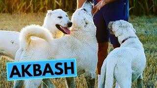 Turkish Akbaş  TOP 10 Interesting Facts  Akbash Dog Breed