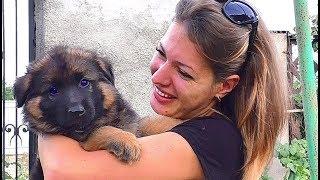 ПРОДАЮТСЯ! Щенки Немецкой Овчарки! SALE! Puppies of the German Shepherd!