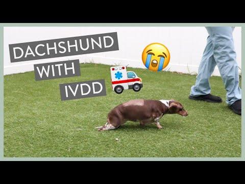 How Sasha the Dachshund became an IVDD Survivor