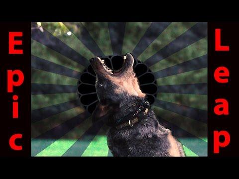 Super Slow Motion Australian Cattle Dog Epic Leap
