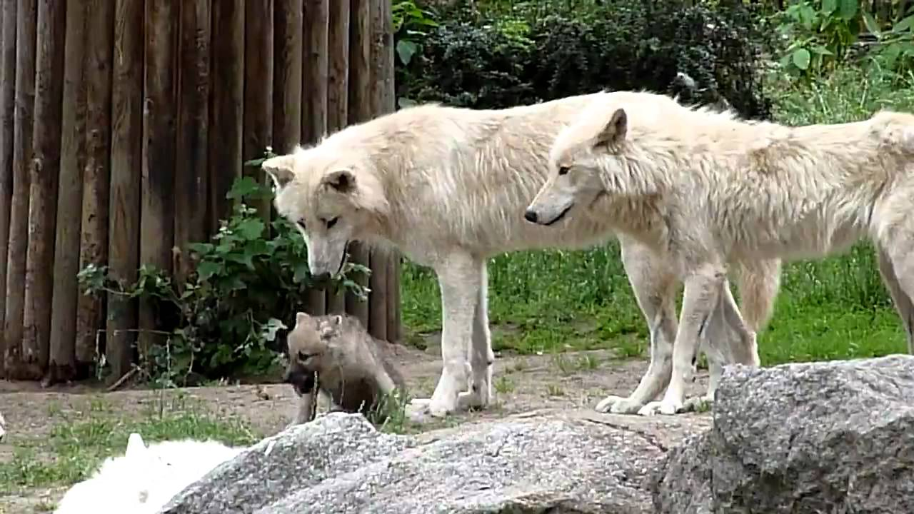 zoo berlin wei e w lfe mit baby wolf youtube. Black Bedroom Furniture Sets. Home Design Ideas