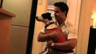 1st Foster Dog Kyra - Staffy X Cattle Dog
