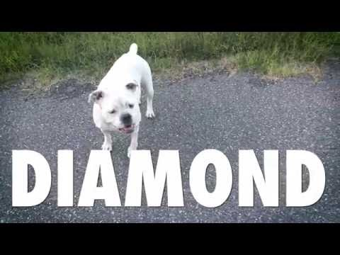DIAMOND THE HYBRID AMERICAN BULLDOG
