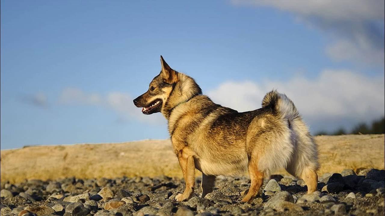 щенки собаки породы шведский вальхунд