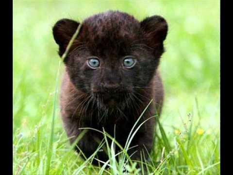 Pantera Animal Wallpaper Leones Panteras Y Tigres Youtube