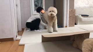 My Dog's Reaction as a Surprise Gift(Poodle)