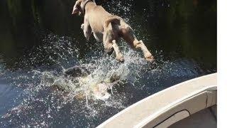 Weimaraner Boat Jump