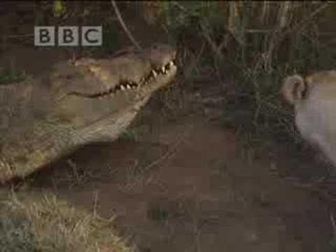 Battle of jaws - lions vs crocodiles - BBC wildlife