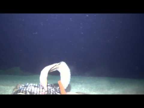 Deepwater eels