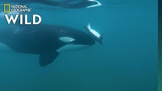 Why an Orca Spins a Sea Turtle with Its 'Nose' | Nat Geo Wild