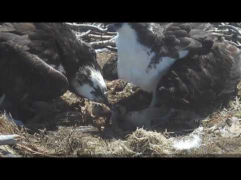 2018 05 25 Mom tries to feed dad then feeds chicks (feeding 3) | Boulder County Osprey Cam