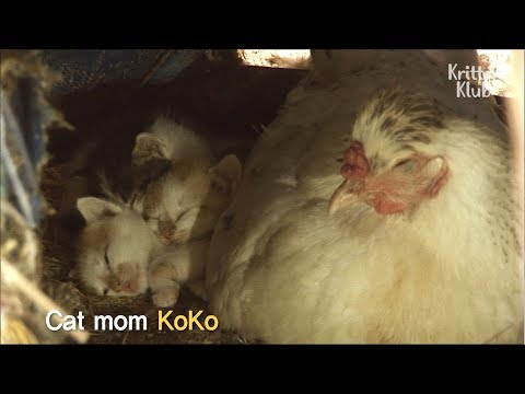 Hen Sitting On Cute Kittens Instead Of Eggs | Kritter Klub