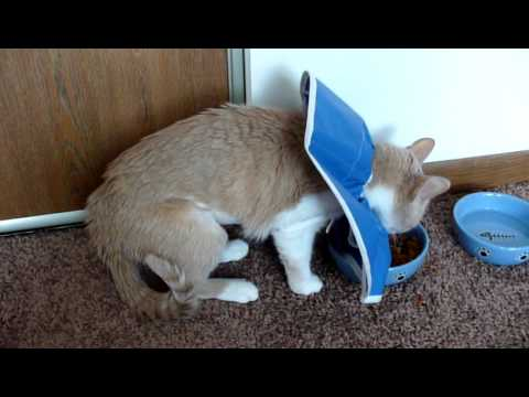 Sandy Cat Recovers From Pyometra Surgery Youtube