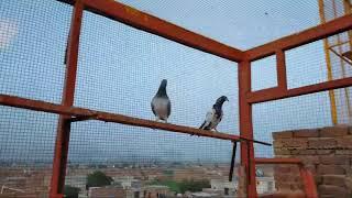 Setup Changing Pigeons Corner